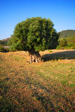 Olive tree in field. A view of an old olive tree growing in the middle of a country field Royalty Free Stock Image