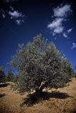 Olive tree field. An olive tree field in Italy, for the production of olive oil stock images