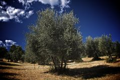 Olive tree field royalty free stock image