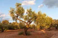 Olive tree field Stock Image