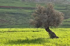 Olive tree in field of green wheat Royalty Free Stock Images