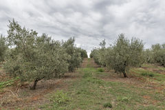 Olive tree field in Istria, Croatia Royalty Free Stock Photos