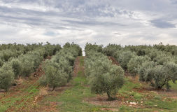 Olive tree field in Istria, Croatia Stock Photo