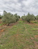 Olive tree field in Istria, Croatia Royalty Free Stock Photography