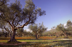 Olive tree field in Kalamata, Greece. Image shows an olive tree field from the famous Kalamata region in southern Greece Stock Photos