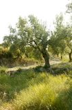 Olive tree field in Spain Royalty Free Stock Photos