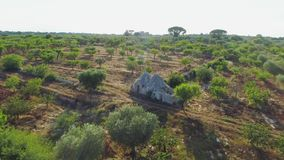 Olive tree in field summer in sunny Italy drone 4k. Olive tree in Italy feild, sunny summer time drone flight stock footage