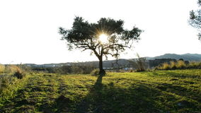Olive tree in a field at sunset. With the sun between the branches stock video