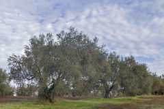 Olive tree field Royalty Free Stock Photography