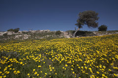 Olive Tree in a Field of Wild Daisies Stock Photography