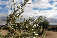 Olive tree in the fields in Madrid uring Fall / Autum royalty free stock image