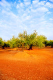 Olive tree fields in red soil in Spain Stock Photo