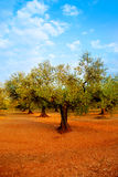 Olive tree fields in red soil in Spain Royalty Free Stock Images