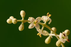 Olive tree flowers Royalty Free Stock Photo