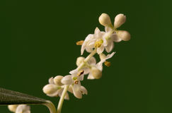 Olive tree flowers Royalty Free Stock Images