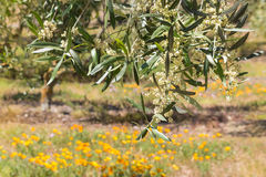 Olive tree flowers in olive grove Royalty Free Stock Images