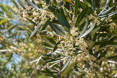 Olive tree flowers in olive grove Royalty Free Stock Photos