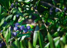 Olive tree with fresh fruits in the field royalty free stock images