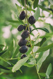 Olive tree with fruits Stock Photos