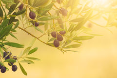 Olive tree with fruits Royalty Free Stock Photography