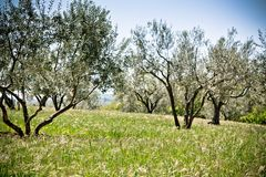 Olive tree garden Royalty Free Stock Image
