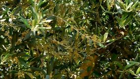 Olive tree stock video