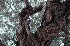 Olive tree, Garden of Gethsemane Stock Photo