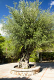 Olive tree in garden at island Majorca, Balearic Islands, Spain. Stock Images