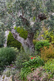 Olive tree in the garden Stock Images