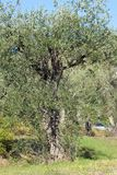 The olive tree in the garden stock images