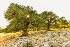 Olive tree garden in sunset or sunrise. Stock Photo
