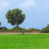 Olive Tree and Golf Field,  Paphos Royalty Free Stock Photos