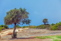 Olive Tree and Golf Field,  Paphos Royalty Free Stock Photography