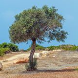 Olive Tree and Golf Field,  Paphos Stock Photography