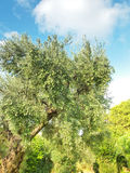 Olive tree Greece Stock Photos