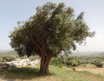 Olive tree in Greece Stock Image