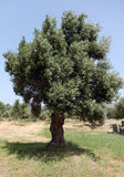 Olive tree in Greece Royalty Free Stock Photos
