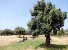 Olive tree in Greece Royalty Free Stock Image