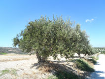 Olive tree. Stock Images