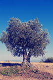 Olive tree. On greek countryside, instagram look Stock Photography