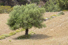 Olive tree on a greek island Royalty Free Stock Photos
