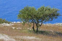 Olive tree on a greek island Royalty Free Stock Photos