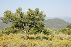 Olive tree in Greek late summer Royalty Free Stock Photos