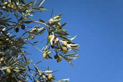 Olive tree with green and black olives Stock Photo