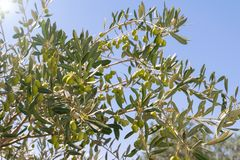 Olive tree with green fruits olives on a branch closeup. stock image