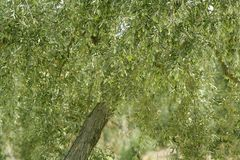 Olive tree with green fruits in Spain Royalty Free Stock Photos