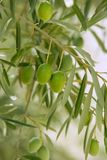 Olive tree with green fruits in Spain Stock Image