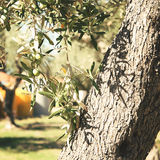 Olive tree with green olives Royalty Free Stock Images