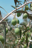 Olive tree. Green olives on a tree with leaves Royalty Free Stock Photo