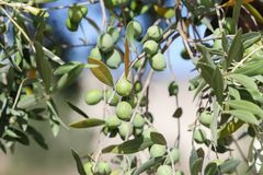 Olive tree with green olives royalty free stock photography